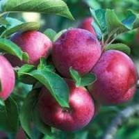 Вирощуємо Саджанці Яблук на підщепах М106 та М9 (білше 30 найпопулярніших сортів)