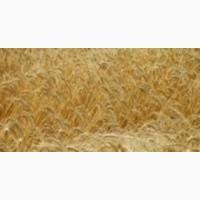 Семенная Пшеница Нива (Одесская) элита