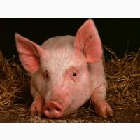 Продам свиней || Черкассы и область || КУПИТь свиней живой вес 10/20/100 кг