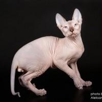 Кошенята породи Донський Сфінкс