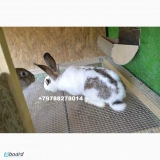 Продаю кроликов на племя Бахчисарайский район
