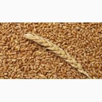 Куплю пшеницу ІІ класса за наличку