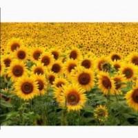 НВФ «ГРАН» реалізує ультраскоростиглі гібриди соняшнику