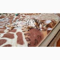 Бенгальская кошка купить Днепр купить бенгальского котенка Днепр