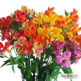 Продаем оптом Тюльпаны, альстромерия и гиацинты к 8 марта!