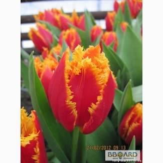 Тюльпаны к 8 марта Харьков