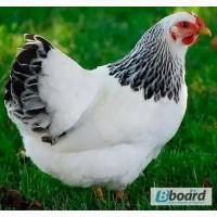 Курка доросла мясо-яєчна Адлер сріблястий, курі Миронівська птахофабрика