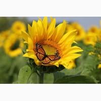 Пропонуємо купити насіння соняшнику Monarch (NS Serbia)   Монарх