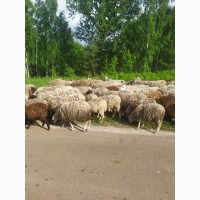 Продам Баранов, Овец живым весом