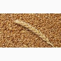 Покупаем пшеницу