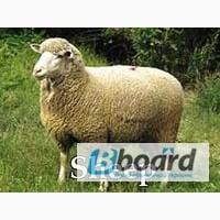 Продам овец и баранов на мясо