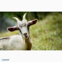 Комбикорм, корм для овец и коз в Одессе, для откорма и лактирующих от тм МаксимуМ