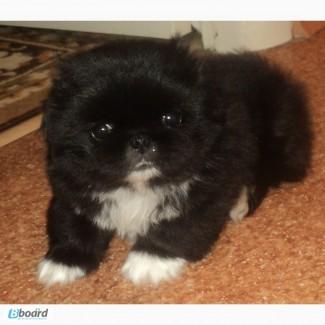 Продам щенка Королевский пекинес