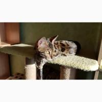 Продажа лучших бенгальских котят Харьков