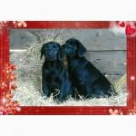 Продам щенков лабрадора с родословной недорого