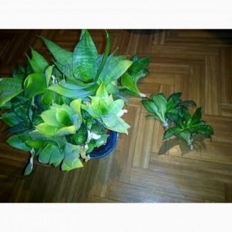 Сансевиерия (Тещин Язык) комнатное и офисное растение в горшке
