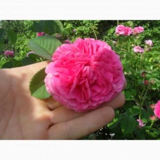 Саженцы чайной розы