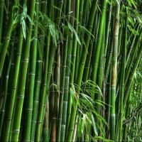 Семена морозостойкого бамбука Мосо 25 шт (Phyllostachys Edulis Moso)