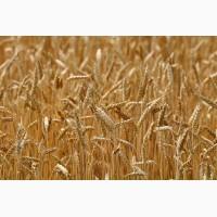 Куплю зерновые. Куплю зерноотходы