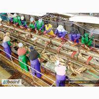 Работники на завод по переработке рыбы в Польше