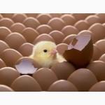 Яйце куряче інкубаційне