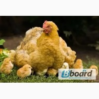 Комбикорм, корм для цыплят, кроссов, кур-несушек тм МаксимуМ