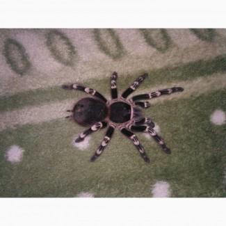 Продам паука птицееда Acanthoscurria geniculata