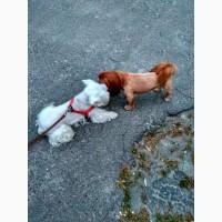 Стрижка собак декоративных пород в Бортничах 300 грн