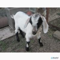 Продам заано-нубийских козлят
