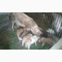 Продам свинок возраст 1, 5 месяцов
