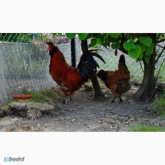 Инкубационное яйцо кур Павловская золотая