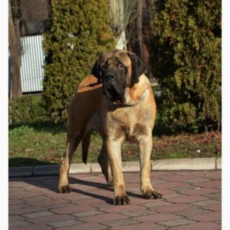 Щенки мастифа - самой крупной породы собак в мире