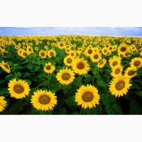 Насіння соняшника -Сонячний настрій (98 – 103 дн)