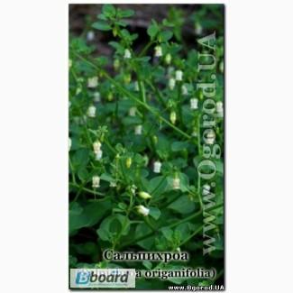 Семена сальпихроа ромбической / Salpichroa rhomboidea - 5 семян