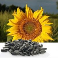 Пропонуємо насіння соняшнику