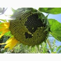 Ауріс стійкий до гранстару 50г/га (насіння соняшника)
