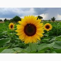 Компанія «Гран» пропонує насіння гібриду соняшнику Бонд під гранстар