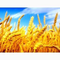 Продаем фураж пшеница 6 кл, 3 кл