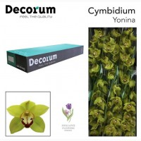 Orchid Cymbidium, Орхидея, ОПТ, Киев, Украина, Голландия
