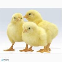 Цыплята суточные, циплята добові, київська обл