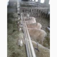 Овцы, баранина