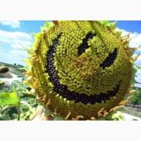 Продаємо Гранд SU посівний матеріал соняшнику (50 г/гранстару)