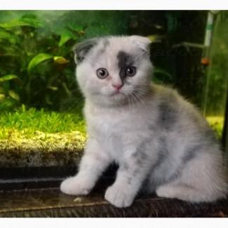 Котята вислоухие шотландские. Единственная в Украине