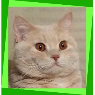Котята британские. Кремовые (топлёное молоко). Папина копия