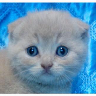 Котята вислоухие. Кремовые (топлёное молоко). Бронь на март