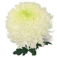 Черенок хризантемы из Польши