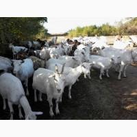 Молодые козы зааненской породы. Племенной козёл нубийской породы