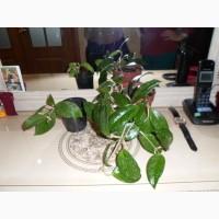 Продам комнатное растение Хойя