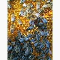 Пчелинные плодные матки 2019 года Карпатка Ф1